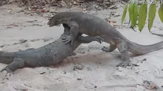 Monitor Lizard Battle Over Territory