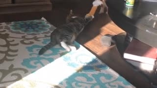 Collab copyright protection - dog and cat tug of war cat dragged - Video