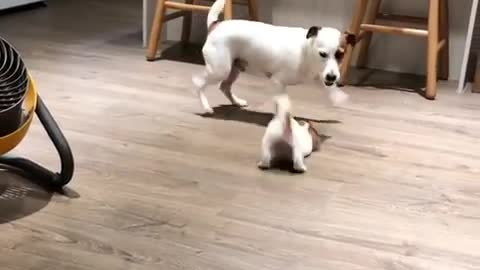 Jack Russell father bonds with newly adopted puppy
