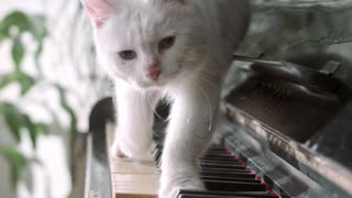 Cat and piano love story