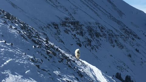 Skier Meets Mountain Goat at 10,000 Feet