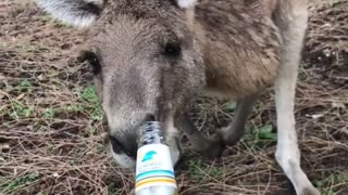 Making Friends with a Kangaroo - Video