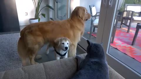 Puppy cleverly hides under dad while attacking cat
