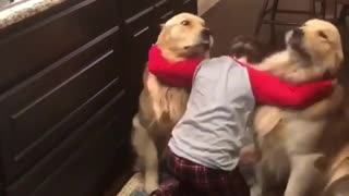 Adorable Baby Boy Made Trick on His Two Golden Dogs