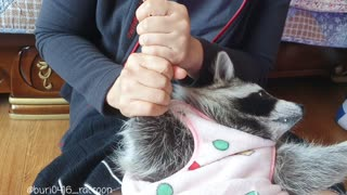Raccoon takes turns getting a massage from his mother.