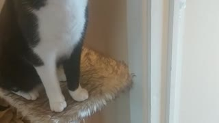Cat giving high five for treats  - Video