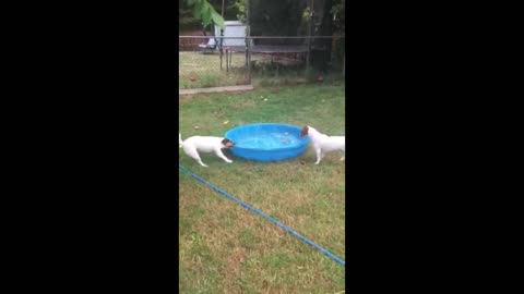Terrier Trys To Move Kiddie Pool