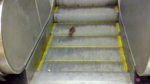 This Rat Is A Pro At The Stairmaster