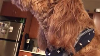 Tan dog with blue scarf on howls in kitchen  - Video