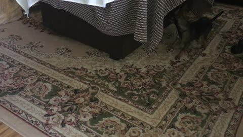 chihuahua dogs playing hide and seek game cute