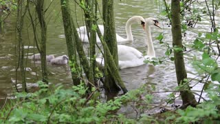 Watch a family of beautiful white swans with their little ones for a lakeside swimming stroll