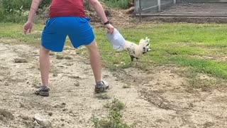 Brother and Angry Rooster Face Off