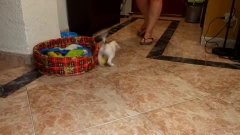 my puppy plays with his ball