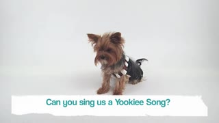 Talkative Yorkie - Video