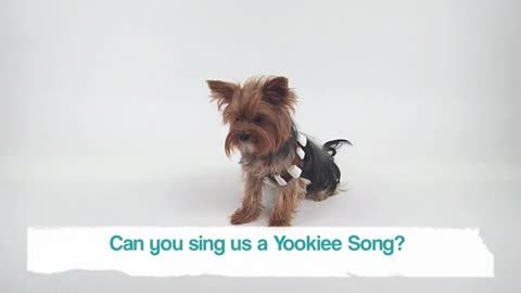 Talkative Yorkie