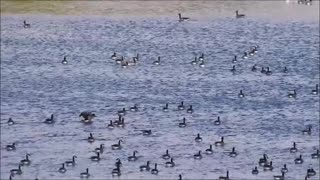 A Goose Gathering Party - Video