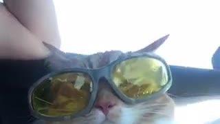 Cat in car with yellow lense sunglasses - Video