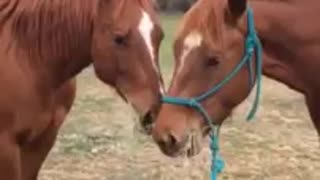 (VIDEO) Adorable – Horse Brings His Girlfriend Lunch & Give Her Kisses!