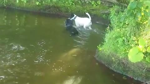 2 Dogs Swiming Together