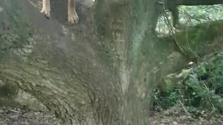 Dog jumping and climbing tree