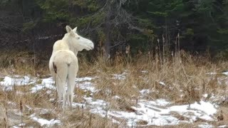 Rare White Moose Spotted with Twin Calves