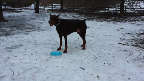 Silly Funny Doberman just cannot pick up a frisbee