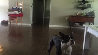 Boston Terrier pulls off back flips like a pro! - Video