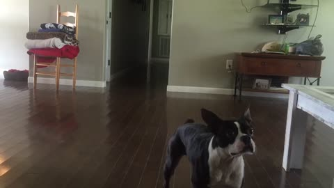 Boston Terrier pulls off back flips like a pro!