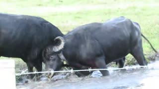 Watch this fight of two buffalos awesome video