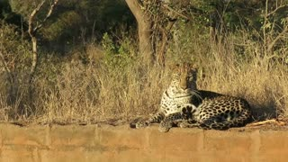 Leopard attempts to catch annoying flies with his snapping teeth