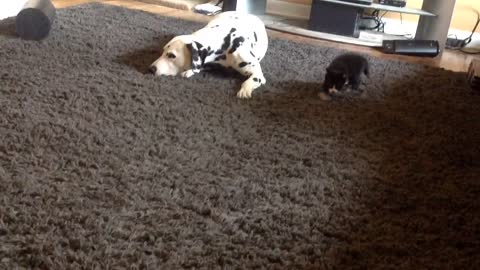Dalmatian and foster kitten become best friends