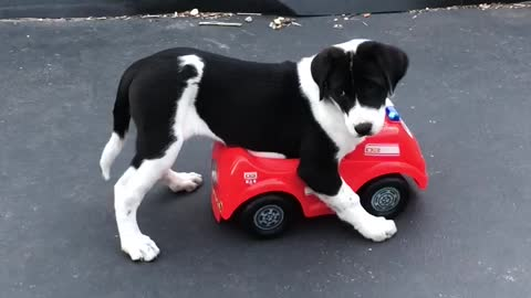 Puppy Steals Toddler's Car, Goes For Joy Ride
