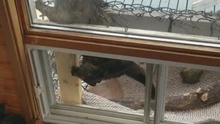 White cat climbing on owner and black cat trying to sneak out balcony - Video