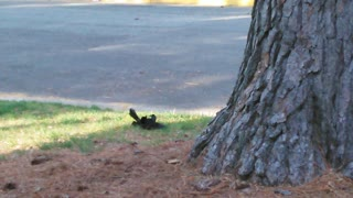 Two Black Birds Fighting And It's On Blast  - Video