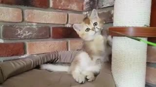 Small Kitten Playing with Small Bell - Video