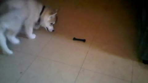 Husky Puppy Freaks Out Over A Toy