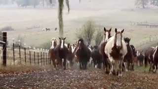100 Rescue Horses Run In From Pasture - Video