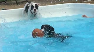 boxer puppies in water  - Video