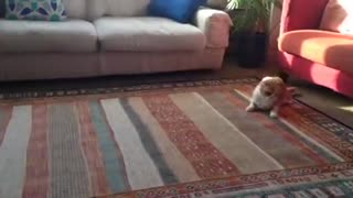 Cat Drags Butt on Carpet, Hilarious! - Video