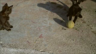 Cat plays with a tennis ball - Video