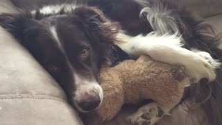 Dog Naps On Couch Snuggling With His Teddy Best Friend - Video