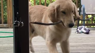 Frustrated puppy can't bring stick into home