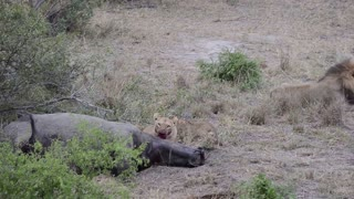 Lion family playing around/eating rhino in Kruger