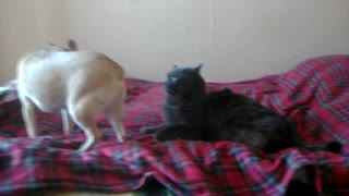 The cat is tired of clingy dog and he resentfully left  - Video