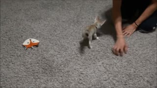 Training the Baby Fennec Fox to Sit - Video