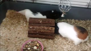 Funny guinea pigs overturn their home - Video