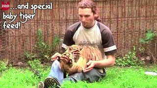 Cute Siberian Tiger Cubs - Video