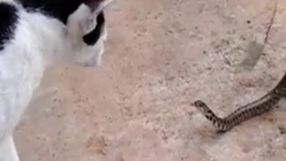 Snake that is half eaten by a toad attacks confused cat