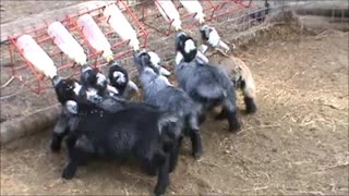 Wiggly-tailed baby goats will melt your heart!  - Video