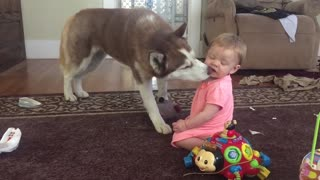 Playful Siberian Husky gives baby loving kisses